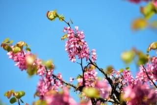 Baharın Habercisi: Boğazdaki Erguvan Rotaları